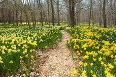 The Quiet Woodland In Massachusetts Where You Can See Thousands Of Daffodils In Bloom in April/May (Parsons Reserve on Horseneck Road in Dartmouth, Mass. Rhododendron Plant, Vernal Pool, Magical Forest, Rare Plants, Woodland Creatures, Fairy Land, Natural Resources, Nature Reserve, Natural Wonders
