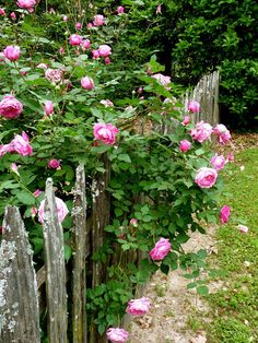 Old Rose: Duchess De Brabant. My favorite! Heavenly fragrance, low maintenance. Tends to take over, though.