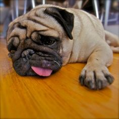 How to save your furniture, or how to handle puppy chewing. Pug Dog!
