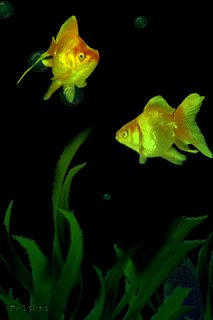 гифка золотая рыбка плавает