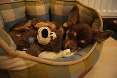 Chihuahua, Dog Food Recipes, Pets, Dog Recipes, Chihuahua Dogs, Chihuahuas, Animals And Pets