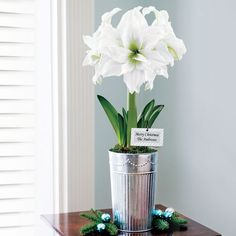 Single Grand Trumpet® Double Ruffle White Amaryllis:   The combination of silver and white is stunning in this Amaryllis gift, which is suitable for all the winter holidays. The huge ruffled blooms remain fresh for weeks, glowing above the elegant galvanized metal tin that you'll want to use over and over again. What a wonderful ready-made gift! -- This product is no longer available, however click the image to see this year's Amaryllis Bulb Gifts!