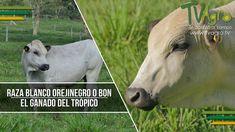 Raza Blanco Orejinegro o Bon: El Ganado del Trópico - TvAgro por Juan Go...