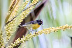 Coco Buds Delights 1 - Bananaquit looking for some delights,through a coconut tree leaves .