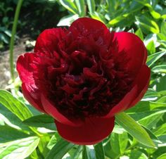 Red Charm - Herbaceous Peony/ Paeonia