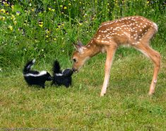 Deer and some baby skunks. It's Flower and Bambi Cute Baby Animals, Animals And Pets, Funny Animals, Wild Animals, Cute Small Animals, Beautiful Creatures, Animals Beautiful, Animal Pictures, Cute Pictures