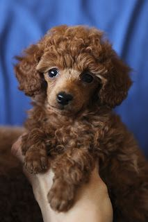 Most Used Poodle Names Click the picture to read. This little one looks just like my Phoebes sister, Gracie.