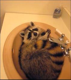 raccoon in sink #Raccoon #Sink #Cute