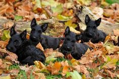 Scottie pups in the Autumn leaves. Scottish Terrier Puppy, Terrier Dogs, Baby Dogs, Dogs And Puppies, Doggies, Husky, Beautiful Dogs, Scottie Dogs, Animal Photography