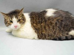 TIGGER IS A CHUNKY AND FRIENDLY KITTY NOW WEIGHING IN AT 18 LBS. THIS HANDSOME FELLOW NEEDS A PLACE THAT HE CAN CALL HOME. HE'S GETTING DEPRESSED AT THE SHELTER AND NEEDS PLACEMENT ASAP.
