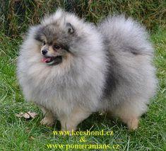 Pomeranian - Piper Karamit Nova