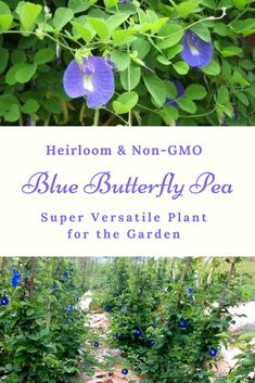 I love blue flowers & the Blue Butterfly Pea is no exception! Plus this plant is super versatile. The young pods are tasty & the flowers can be used to make a blue dye. Plus, because the pea is in the legume family, it is nitrogen-fixing for your soil! Garden Spaces, Garden Plants, Garden Inspiration, Garden Ideas, Butterfly Pea, Little Gardens, Growing Veggies, Garden Maintenance, Garden Borders