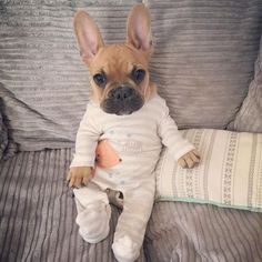 French bulldog in pajamas how cute.