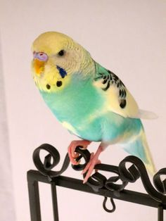 Sage, the sweetest Female Parakeet you will ever meet.