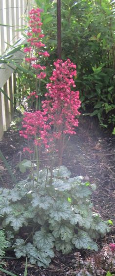 Coral Bells....So pretty and they  bloom all summer.  Loved by the hummingbirds.