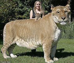 This is Hercules, a Liger (combo lion & tiger), with the staff member holding up the newest baby liger, Aries.  This animal is beautiful, yes, but is a hybrid-meaning that it does not exist in the wild.  And the owner of this preserve calls himself a 'conservationist.'  How is this conservation when one is breeding (or allowing the breeding to happen) hybrid animals that are a 'wow' factor & just serve to bring in more $$?