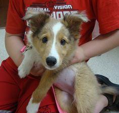 Molly is an 11 week old Shetland Sheepdog