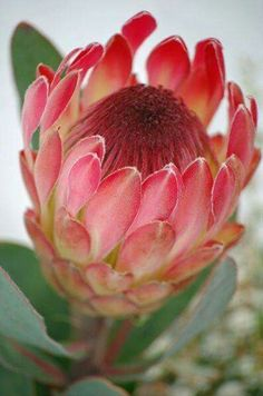 Named after the Greek God Proteus, these are the best known of the Protea family. Another 82 types of Protea are found in South Africa (mainly in the Cape … Continued Protea Art, Flor Protea, Protea Flower, My Flower, Flower Art, Tropical Flowers, Exotic Flowers, Amazing Flowers, Beautiful Flowers