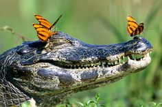 """Caiman crocodile hanging out with his butterfly """"friends. Beautiful Creatures, Animals Beautiful, Unlikely Animal Friends, Funny Animals, Cute Animals, Wild Animals, Smiling Animals, Nature Animals, Nature Sauvage"""