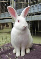 New Zealand White Rabbit 2-3 months old | New Zealand White ...