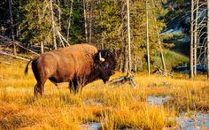 Das #Bison ist nur eine von vielen Tierarten,die im #Yellowstone #Park beheimatet sind © shutterstock
