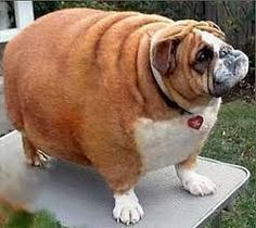 Image result for Real Fat animals