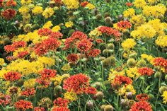 8 Great Plants You Gotta Grow: Torch Blanket Flowers