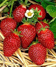 Fraisier 'Korona', variété de fraises utilisée pour fabriquer l'Effervescent de Fraise (Salon du Chocolat - Créativa 2018 de Metz)