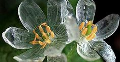 Diphylleia grayi - ghost flower - umbrella plant.  Asian plant whose flowers go clear with wet. I adore unique plants like this.  Looks like it would be easy to grow. (Website in Japanese, no translator widget)