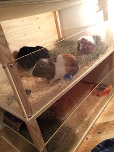 DIY Guinea pig cage Made out of wood and plexy glass