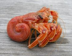 Hermit crabs are squatters by nature, they salvage empty shells into which they can retract their soft, spiral shaped abdomens. Hermit crabs are popular pets and are often selected by. Hermit Crab Shells, Hermit Crabs, Shrimp And Lobster, Sea Snail, Giant Snail, 3d Prints, Sea Birds, Small Island, Marine Life