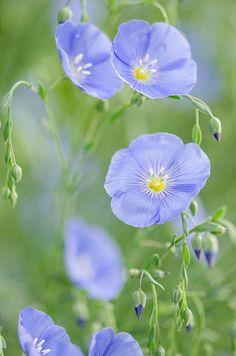 Linum lewisii ~ Blue Flax