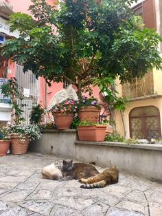 Three pots. Three cats. Compositional allure in a small Positano square. I did get yelled at by an elderly gentleman who thought me cheeky for snapping this. I tried to explain I was an artist gathering color inspiration but to no avail. Next time I will ask the 🐈s their permission. #isacatto #art #travel #cats