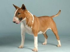 brown english bull terrier puppies for sale