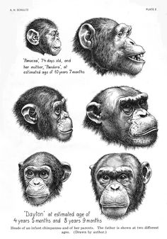 The heads of two infant chimpanzees and their parents