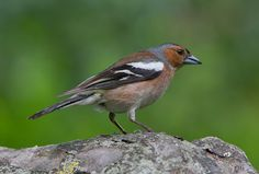 the chaffinch (fringilla coelebs), is a small passerine bird. this bird is widespread and very familiar throughout europe. it is the most common finch in western europe.