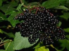 How to grow Elderberry from seeds! I will do this one day. I love the tea and it's so good for the immune system!