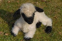 Valais black-nosed sheep - baby. gonna need a few of these...
