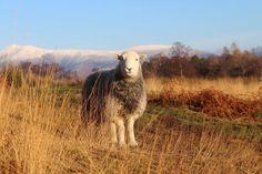 ♥ ~ ♥ Sheep ♥ ~ ♥ Herdy