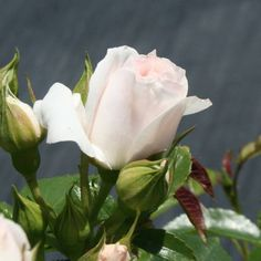 Perfect blush white rose A floribunda with medium sized, blush white flowers and a subtle fragrance. Variety Information Flowering Period Repeat flowering Type Floribunda White Roses, White Flowers, Root System, Planting Roses, Replant, Nature Plants, Edible Plants, Types Of Soil, Garden Soil