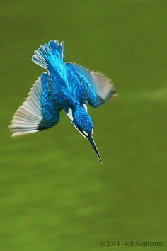 Small Blue King Fisher, Bandung, Indonesia by Adi Sugiharto