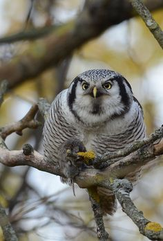 Northern Hawk Owl by MarttiPeramaki