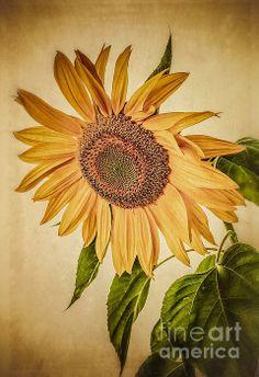 Sunflower by Edward M. Fielding - http://fineartamerica.com/featured/vintage-sunflower-edward-fielding.html  #photography