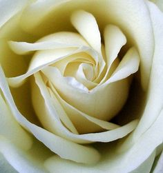 beautiful white rose flowers - Google Search