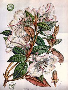 Rhododendron edgeworthii. Houtte, L. van, Flore des serres et des jardin de l'Europe, vol. 8 (1853) [J.D. Hooker] | Flickr - Photo Sharing!