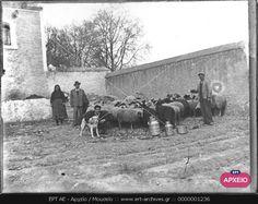 ΑΘΗΝΑ. ΒΟΣΚΟΙ ΜΕ ΠΡΟΒΑΤΑ ΣΕ ΠΟΙΜΝΙΟΣΤΑΣΙΟ ΣΤΟΥ ΖΩΓΡΑΦΟΥ. Athens Greece, Horses, Photos, Animals, Vintage, Pictures, Animales, Animaux, Animal