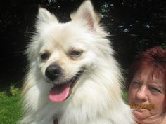 Kasey is an adoptable Pomeranian Dog in Norwalk, CT. PLEASE COME AND MEET ME! SATURDAYS & SUNDAYS SPCA OF CONNECTICUT & ANIMAL ADOPTION NETWORK 359 SPRING HILL ROAD MONROE, CT 06468 NOON - 3 PM (203) ...
