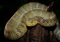 Atheris broadley