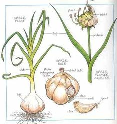 How to grow garlic. Garlic is grown from the individual cloves. Each clove will produce one plant with a single bulb - which may in turn contain up to twenty cloves. Growing garlic is therefore self-sustaining. I've started I hope they grow! Planting Fruit Trees, Fruit Plants, Trees To Plant, Planting Plants, Planting Lavender, Edible Plants, Planting Vegetables, Planting Flowers, Herb Garden
