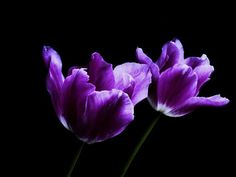 Two Tulips  flowers photograph  8 x 10 by LilyShihPhoto on Etsy, $25.00
